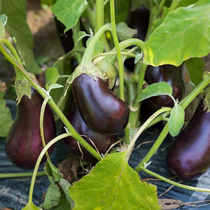 BLK RESULTS ON EGGPLANT
